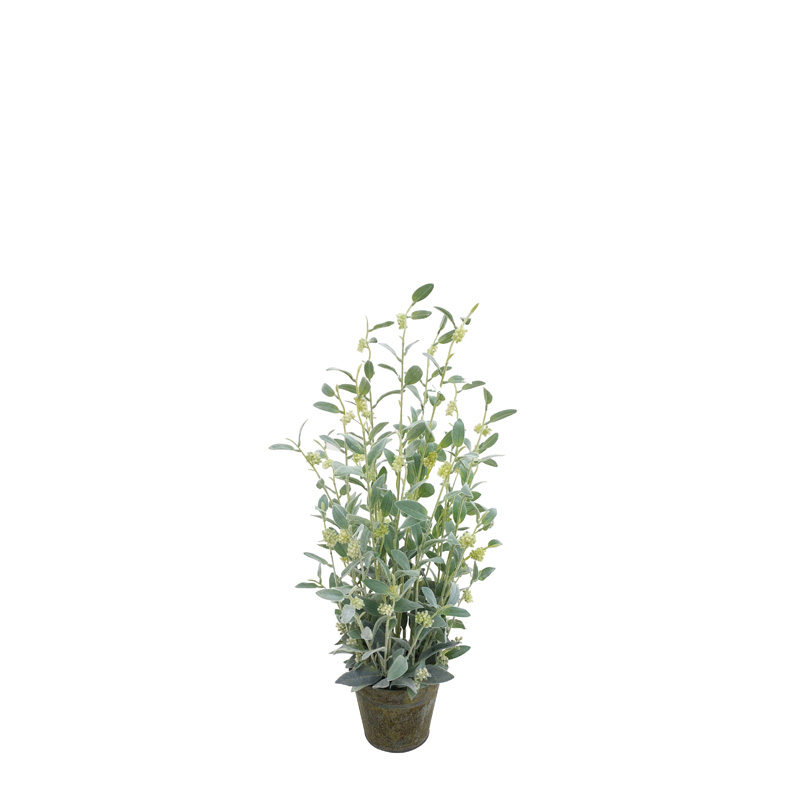 Sauge Salvia